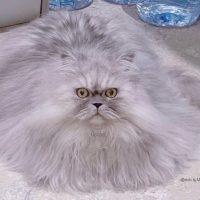 #triplecoat #siberian #siberiancat #gosha #chinchillasiberianmix #ゴーシャ #サイベリアン #チンチラ #シベリア猫 #チンチラサイベリアン