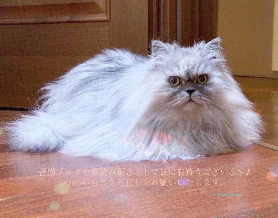 #triplecoat #siberian #siberiancat #gosha #chinchillasiberianmix  #ゴーシャ#トリプルコート#サイベリアン #チンチラ #シベリア猫 #チンチラサイベリアン